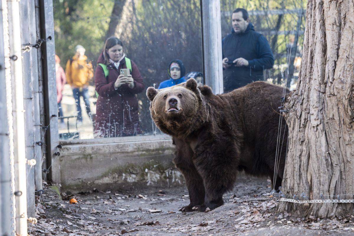 Budapest, 2020. február 2. A Fõvárosi Állat- és Növénykert barnamedvéjét (Ursus arctos) nézik a látogatók a hagyományos medveárnyék-észlelés napján, 2020. február 2-án. Balu, a tizenkét esztendõs barnamedve végül meglátta az árnyékát, ez a néphagyomány szerint azt jelenti, hogy a tél még sokáig fog tartani. MTI/Mónus Márton